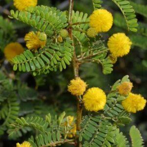 Acacia karroo Hayne