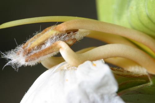 Acanthus mollis L.