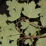 Acer opalus Mill. subsp. granatense (Boiss.) Font Quer & Rothm.