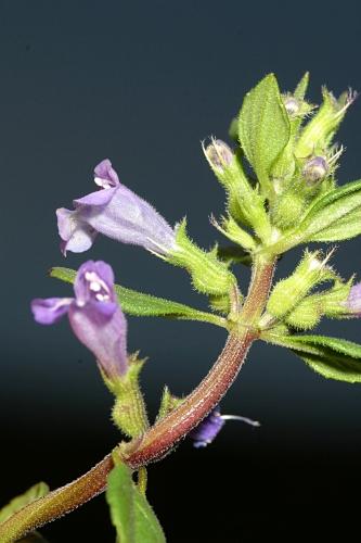 Acinos alpinus (L.) Moench