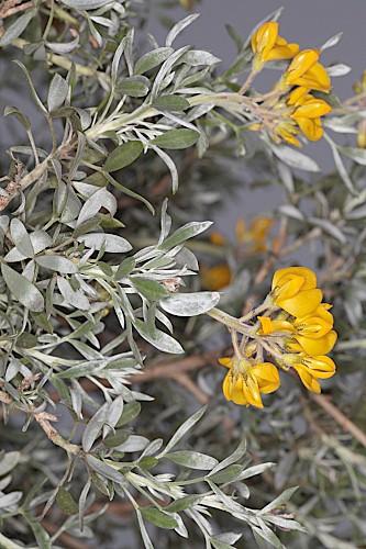 Adenocarpus argyrophyllus (Rivas Goday) Caball.