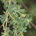 Adenocarpus complicatus (L.) J. Gay