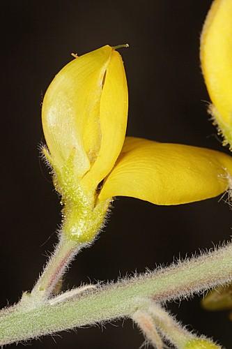 Adenocarpus gibbsianus Castrov. & Talavera