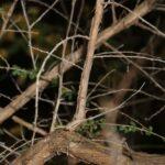 Adenocarpus telonensis (Loisel.) DC.