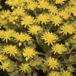 Aeonium arboreum (L.) Webb & Berth.