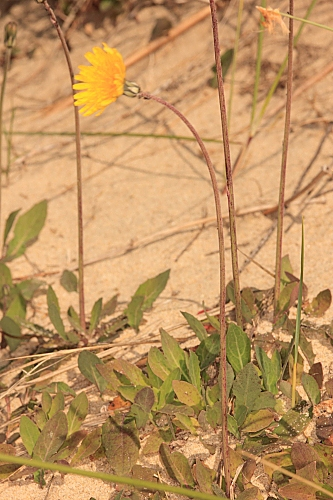 Aetheorhiza bulbosa (L.) Cass.