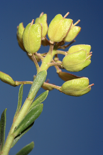 Aethionema saxatile (L.) R. Br.