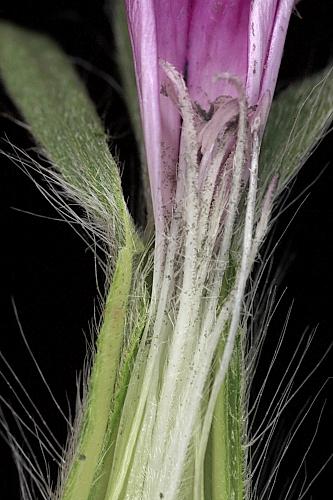 Agrostemma githago L.