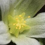 Aizoon hispanicum L.