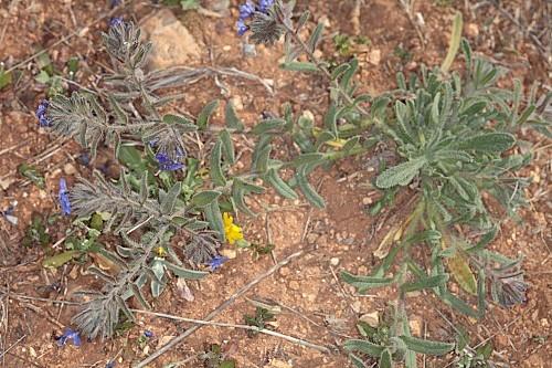 Alkanna tinctoria Tausch subsp. tinctoria