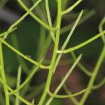 Alliaria petiolata (M. Bieb.) Cavara & Grande