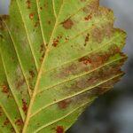Alnus glutinosa (Gaertn.) L.