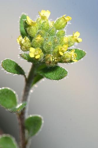 Alyssum granatense Boiss. & Reut.