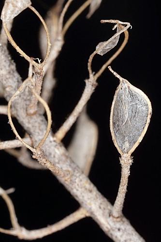 Alyssum serpyllifolium Desf.
