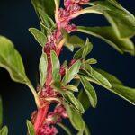 Amaranthus blitoides S.Watson
