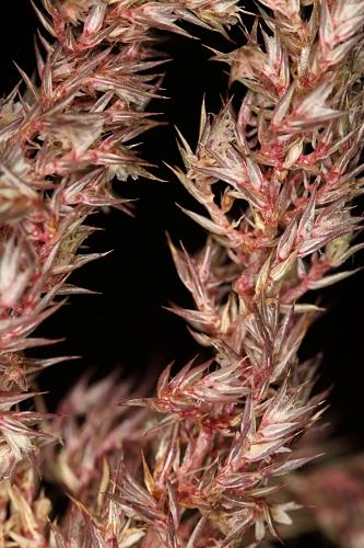 Amaranthus hibridus