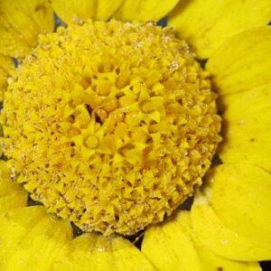Anacyclus radiatus Loisel.