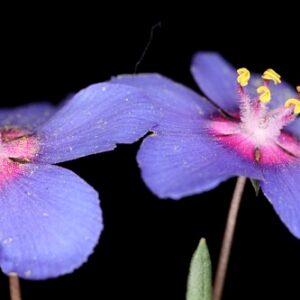 Anagallis monelli L.