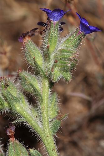 Anchusa undulata L. subsp. granatensis (Boiss.) Valdés
