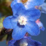 Anchusa undulata subsp. undulata L.