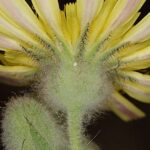 Andryala arenaria (DC.) Boiss. & Reut.