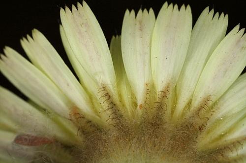 Andryala integrifolia L.