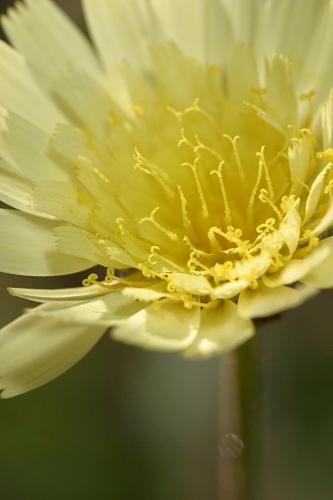 Andryala laxiflora DC.