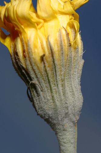 Andryala ragusina L.