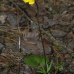 Anemone palmata L.