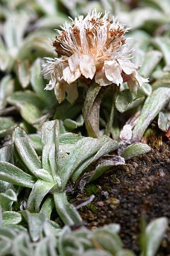 Antennaria dioica (L.) Gaertn.