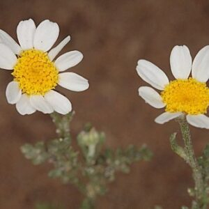 Anthemis bourgaei Boiss. & Reut.
