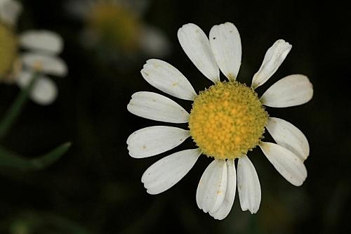 Anthemis maritima L.