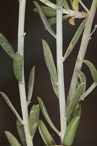 Anthyllis cytisoides L.