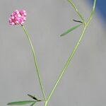 Anthyllis gerardi L.