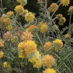 Anthyllis podocephala Boiss.