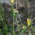 Anthyllis ramburii Boiss.