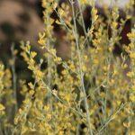 Anthyllis terniflora (Lag.) Pau