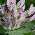 Anthyllis vulneraria subsp. maura (Beck) Maire