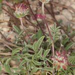 Anthyllis vulneraria subsp. microcephala (Willk.) Benedí