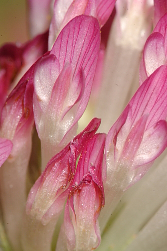 Anthyllis vulneraria subsp. pseudoarundana H. Lindb.