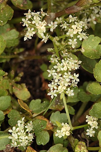 Apium inundatum (L.) Rchb. fil.