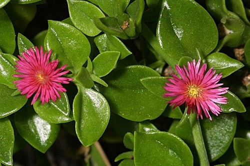 Aptenia cordifolia (L.fil.) Schwantes