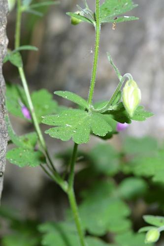 Aquilegia pyrenaica subsp. cazorlensis (Heywood) Galiano & Rivas Mart.