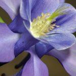 Aquilegia vulgaris subsp. vulgaris L.