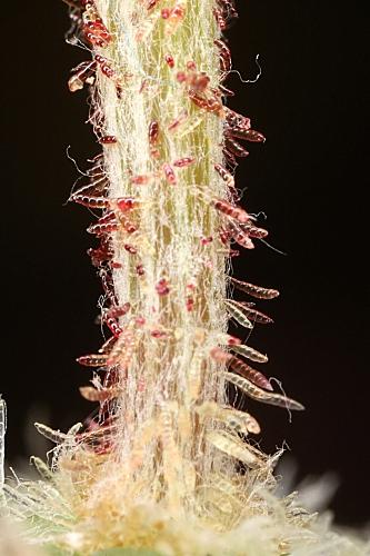 Arctotheca calendula (L.) Levyns