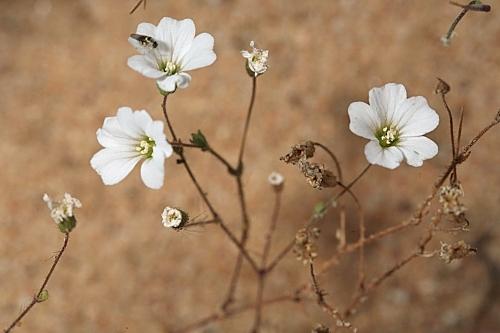 Arenaria algarbiensis Welw. ex Willk.