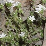 Arenaria armerina Bory
