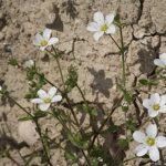 Arenaria hispanica Spreng.
