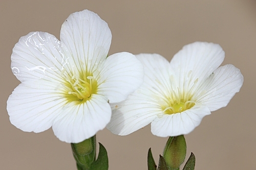 Arenaria montana subsp. montana L.