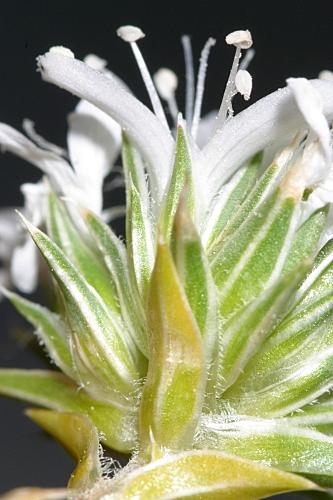Arenaria querioides Pourr. ex Willk.